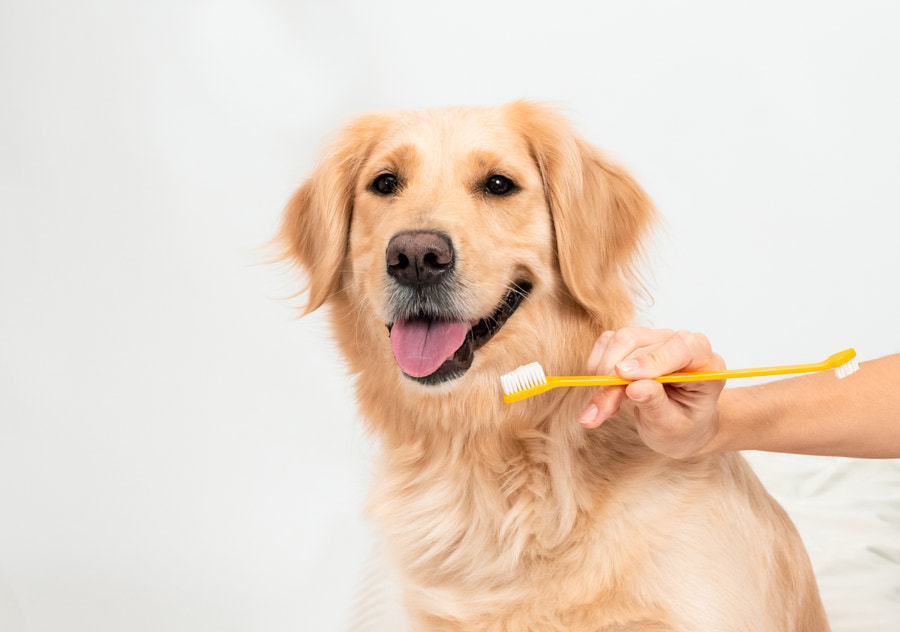 White golden retriever ready to clean teeth on white background by Olena Varchenko on 500px.com