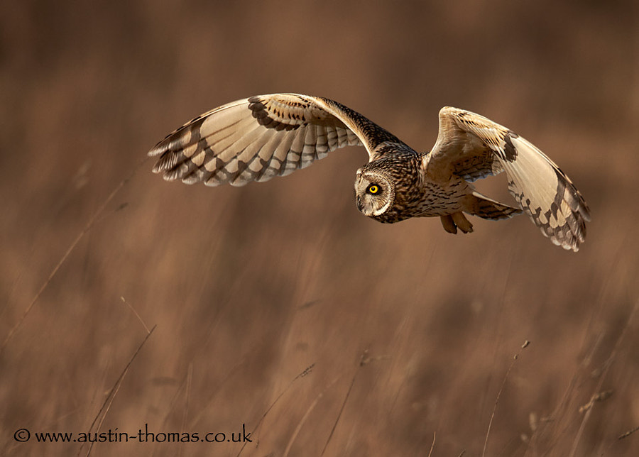 Short-eared Owl hunting...
