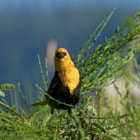 """He was keeping an eye on me.  A male Yellow-headed Blackbird, photographed amongst the Scotch broom on Iona Island, Richmond, BC, Canada.  """"During the breeding and nesting season the males are very territorial and spend much of their time perched on reed stalks and displaying or chasing off intruders. This bird's song resembles the grating of a rusty hinge."""" -- Wikipedia"""