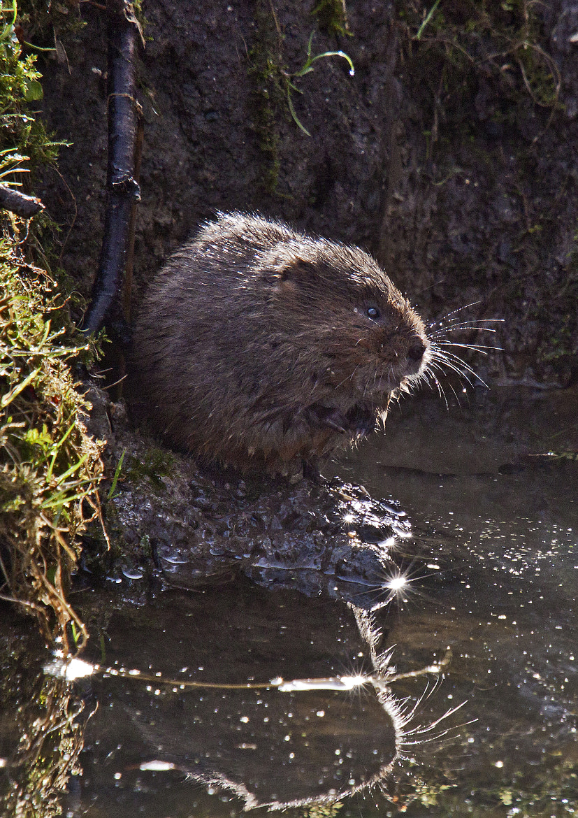 Photograph Reflections of a watervole by Ray Jones on 500px