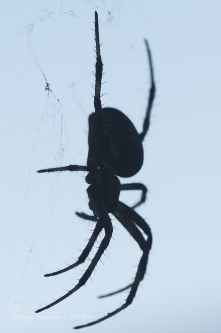 Spider Silhouette Photograph spider silhouette