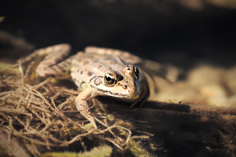 Wild frog from Skadar Lake, Montenegro by Fred H on 500px.com