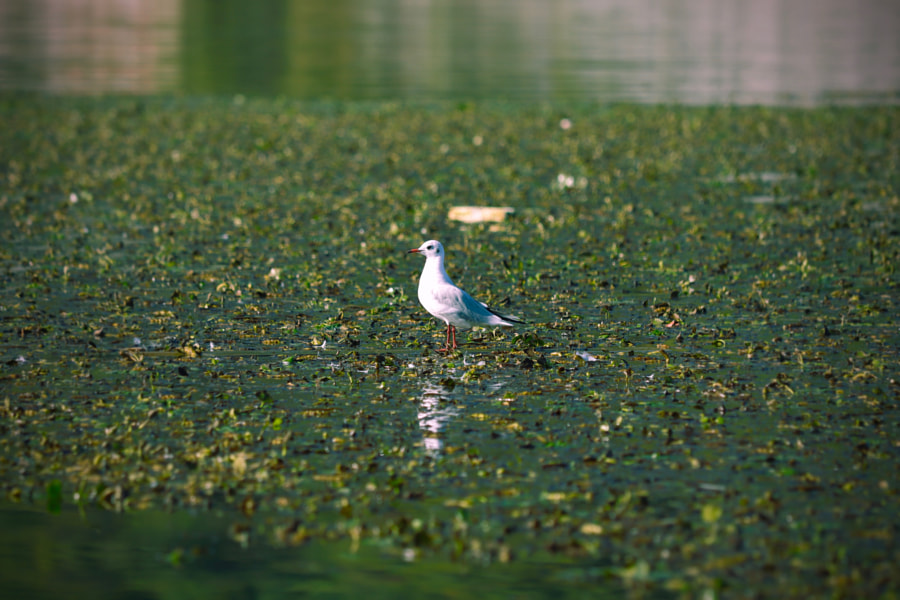 Seagull on Skadar Lake, Montenegro by Fred H on 500px.com