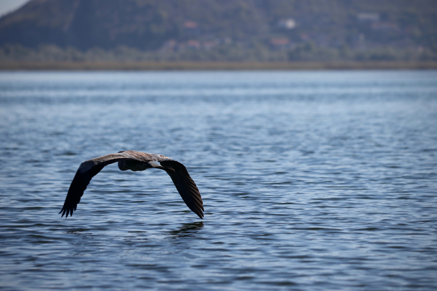 Grey heron flying over Skadar Lake, Montenegro by Fred H on 500px.com