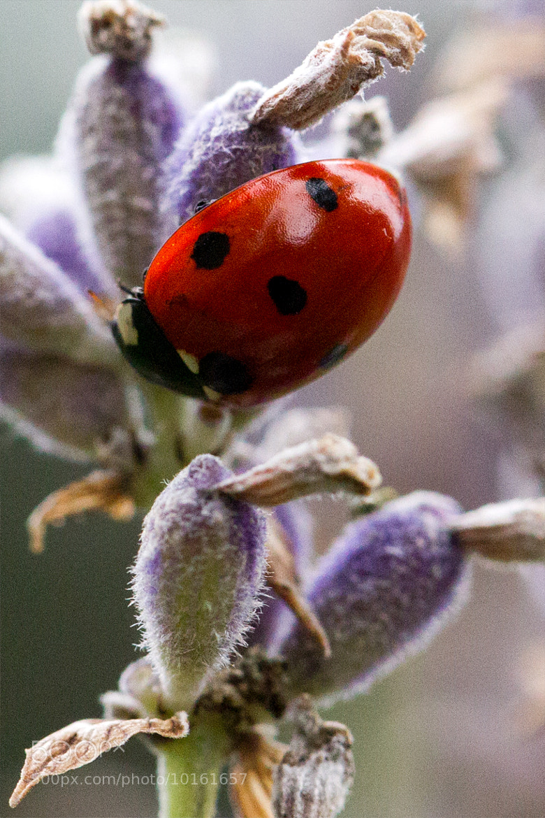 Photograph Ladybug by Miquel Vernet on 500px