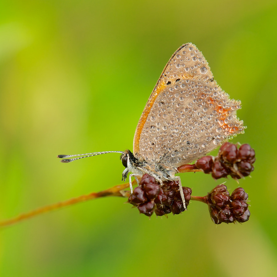 Photograph Small Copper (in the early morning) by Erik Veldkamp on 500px