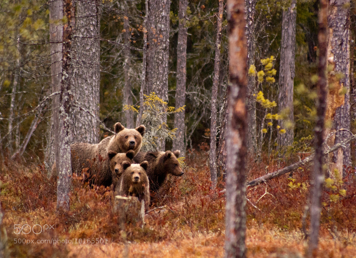 Photograph Brown bear with cubs by Marcel Jagt on 500px