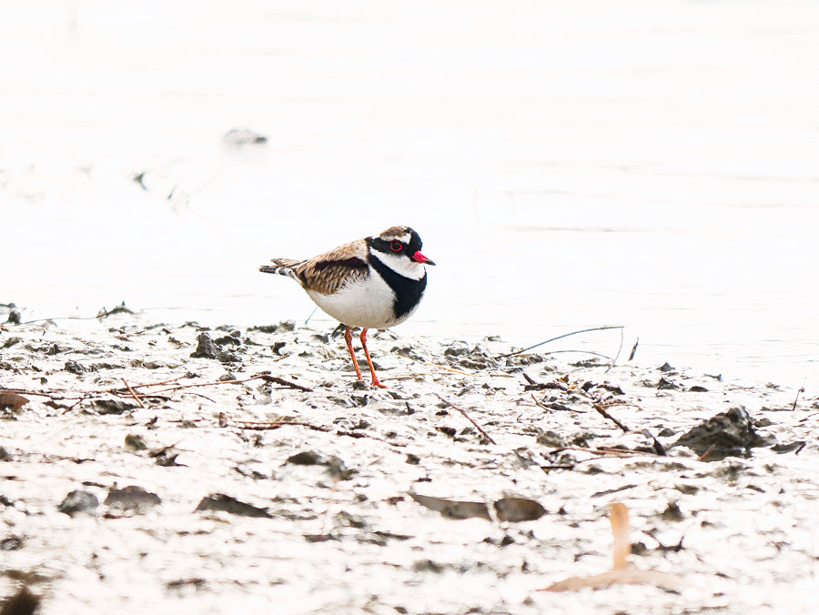 Black-fronted Dotterel by Paul Amyes on 500px.com