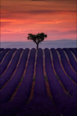Valensole Tree by Georg Scharf