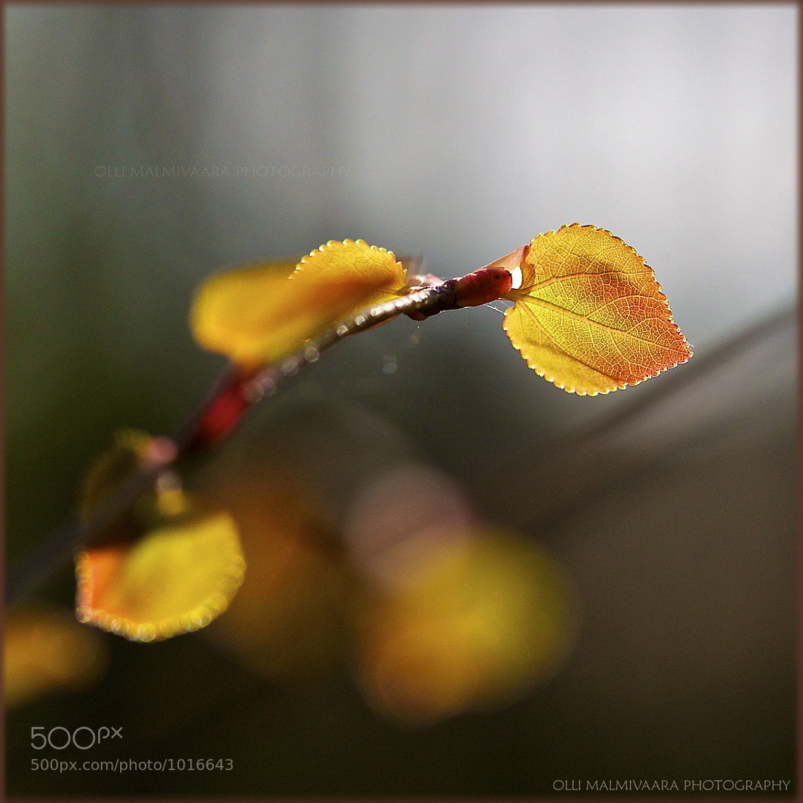 Photograph Small Leaves by Olli Malmivaara on 500px