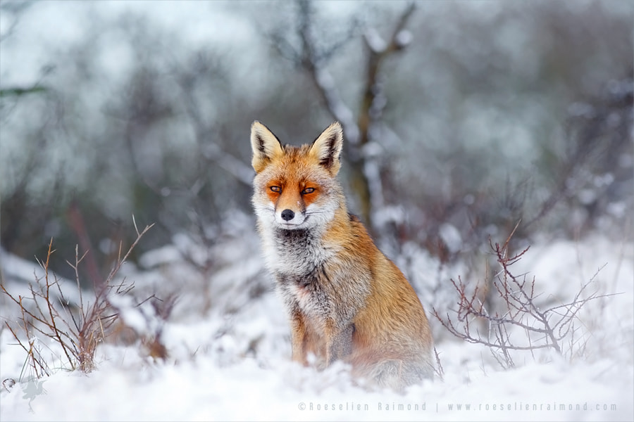 Red Fox Burton Style by Roeselien Raimond on 500px.com