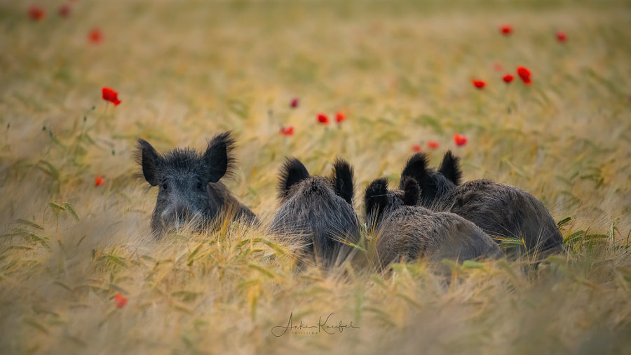 wild boar by Anke Kneifel on 500px.com