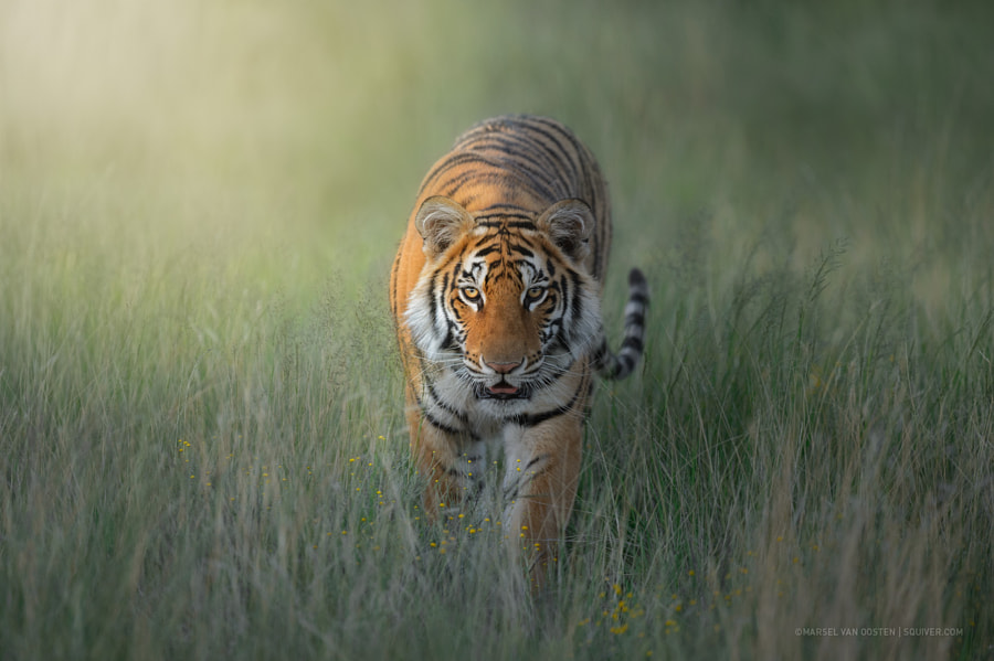 Touched by the light by Marsel van Oosten on 500px.com