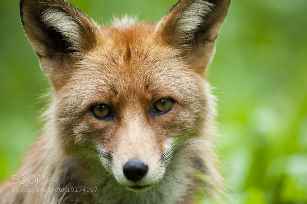 Photograph Fox #1 by Robin Eriksson on 500px