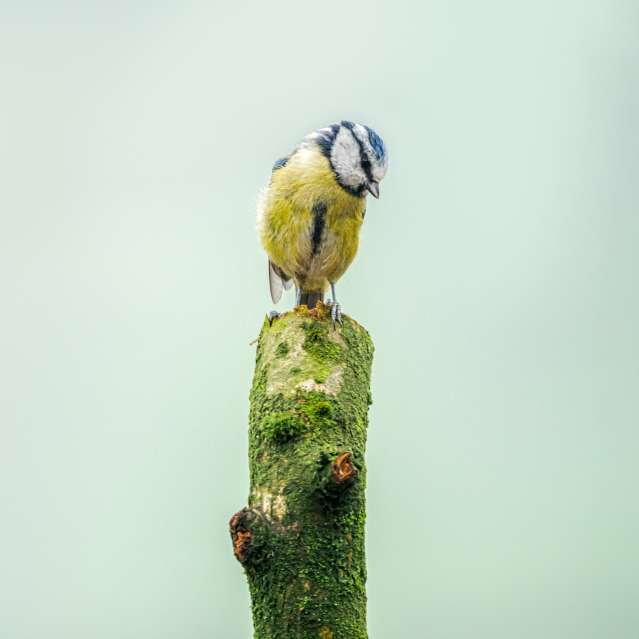 Baby Blue Tit by David Travis on 500px.com