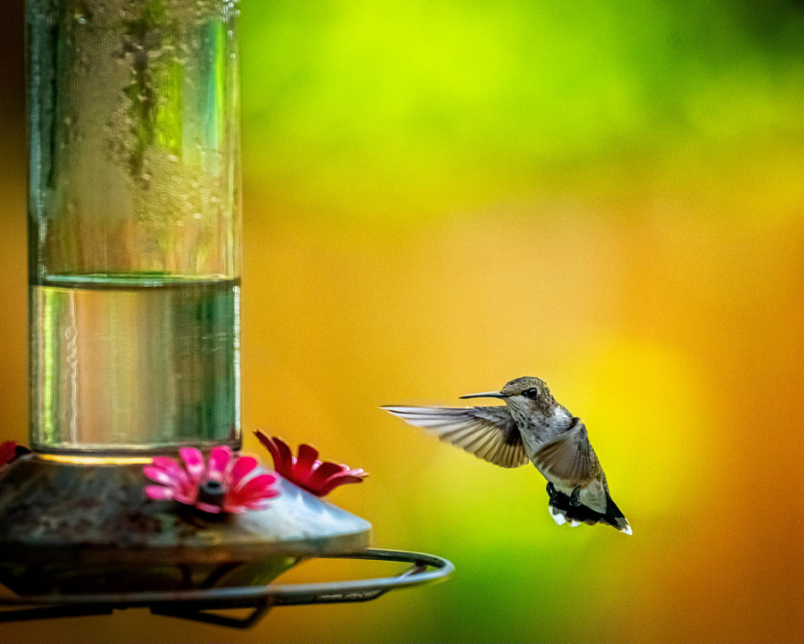 Hummingbird Bokeh by Peter B. Nyren on 500px.com