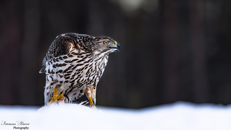 Goshawk The Call of the Wild by Shey (Seamus) Breen on 500px.com