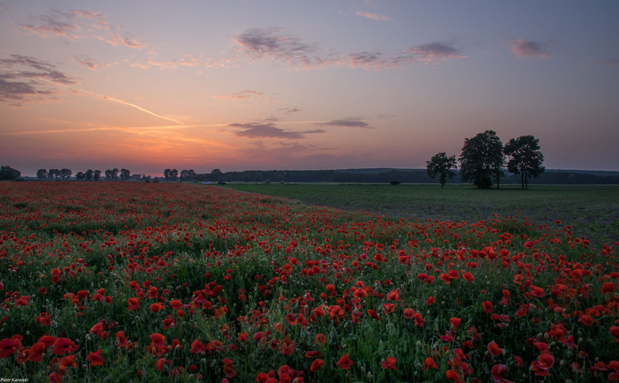 poppy field by Piotr Karwski on 500px.com