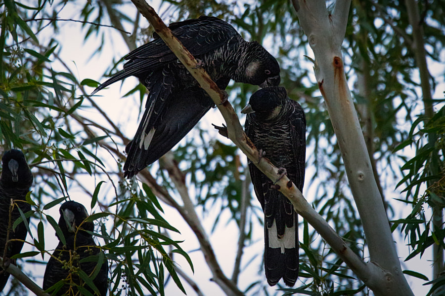 Carnaby's Black-cockatoos, by Paul Amyes on 500px.com