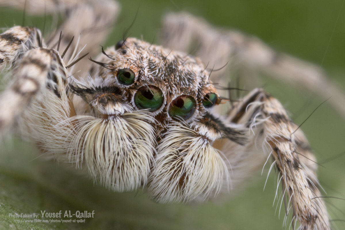 Photograph jumping spider by Yousef Al Qallaf on 500px