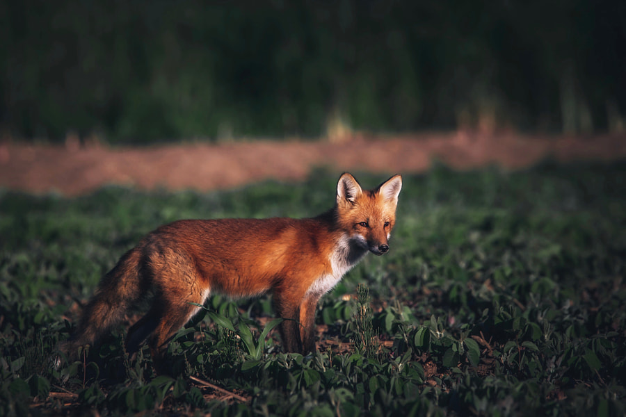 Red Fox Kit by Seth Macey on 500px.com