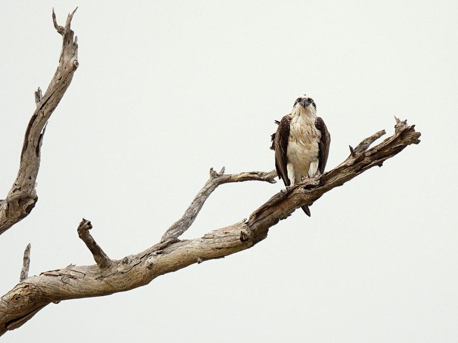 Eastern Osprey by Paul Amyes on 500px.com