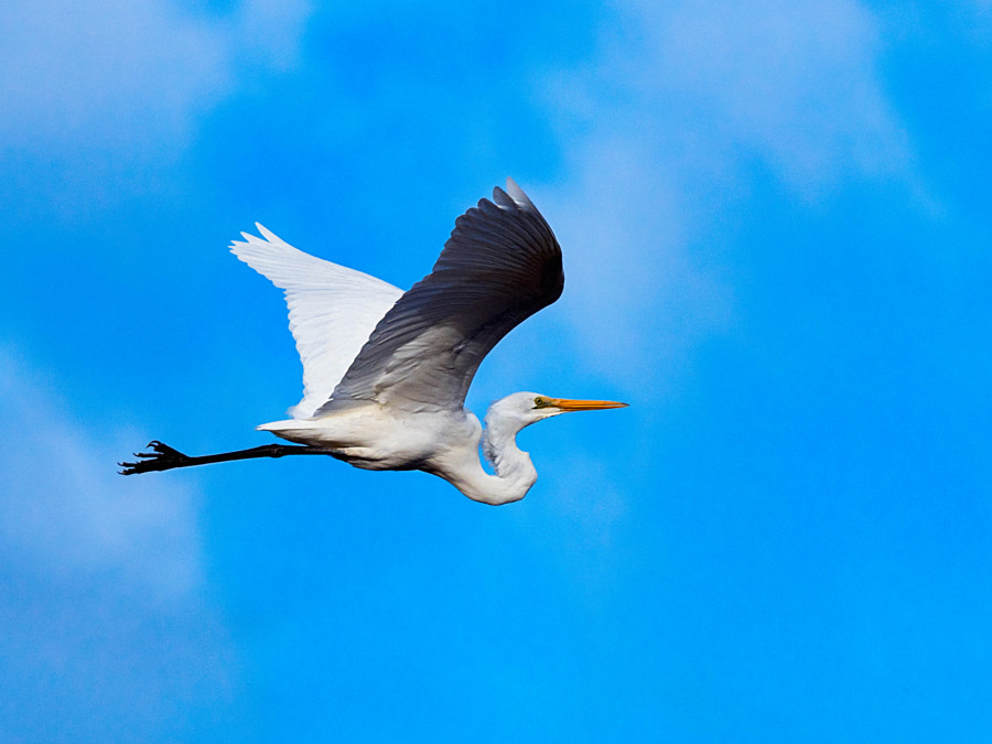Great Egret In Flight by Paul Amyes on 500px.com