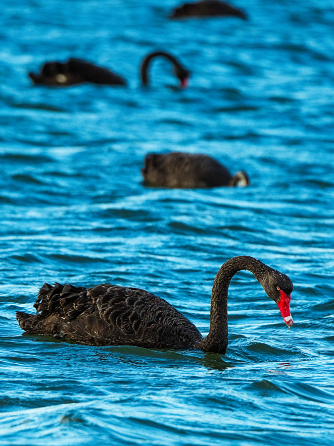 Black Swans by Paul Amyes on 500px.com