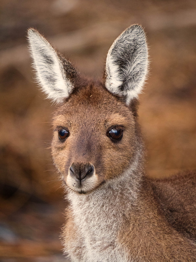 Western Grey Kangaroo by Paul Amyes on 500px.com