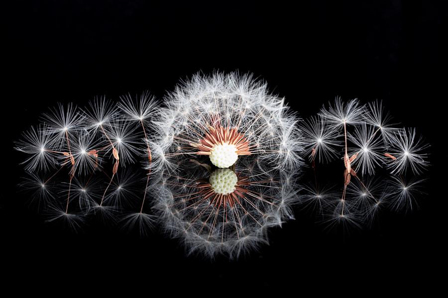 Dandelion by Kanagasabai C on 500px.com