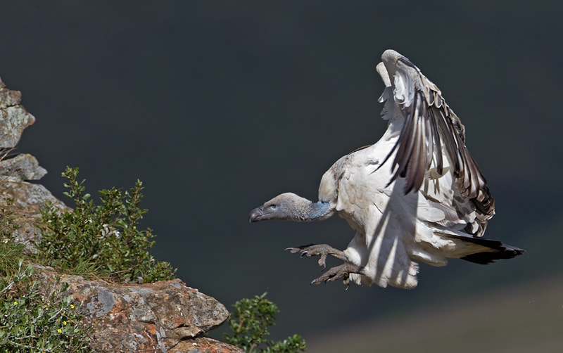 Photograph Cape Vulture by Hendri Venter on 500px