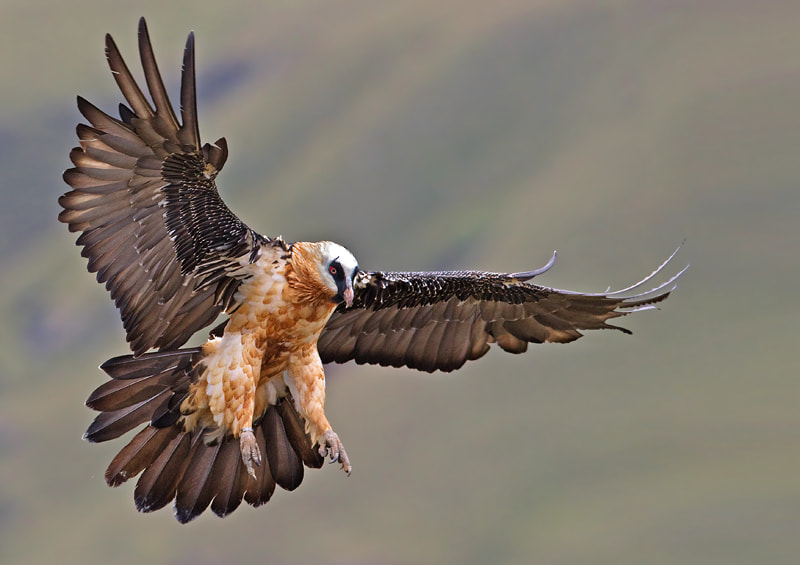 Photograph Bearded Vulture by Hendri Venter on 500px