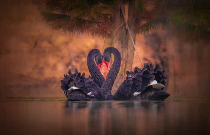 Black Swans in Courtship by John S