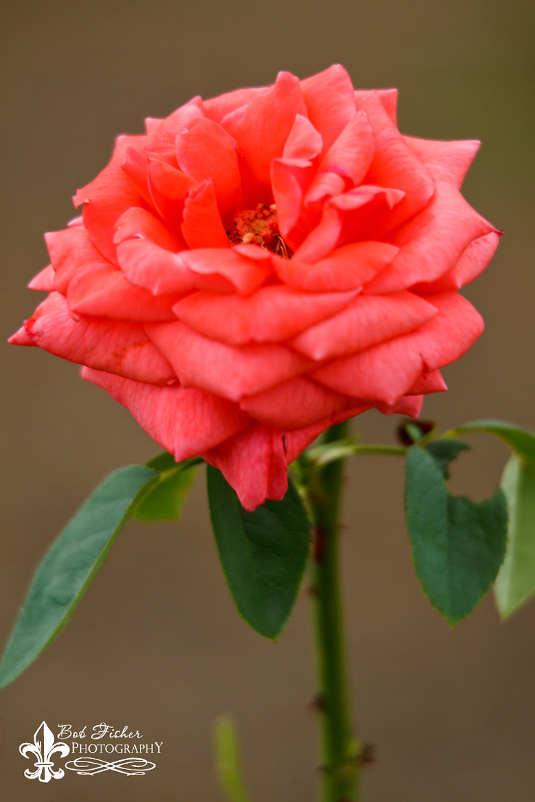 Photograph Pink Rose by Bob Fisher on 500px