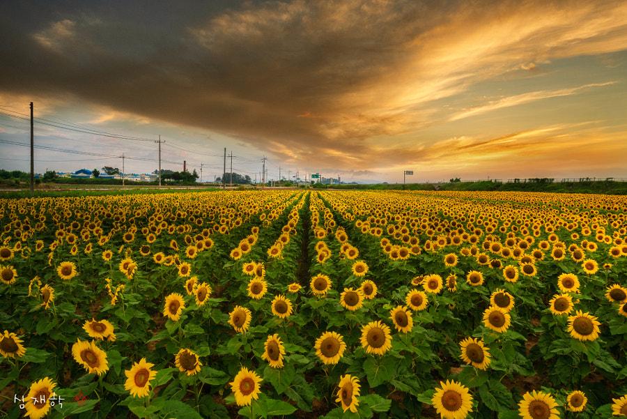 sunflower parade by jaehark shim on 500px.com