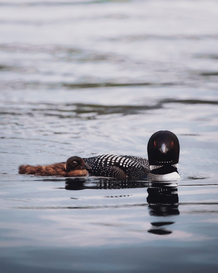 Loon Parent by Seth Macey on 500px.com