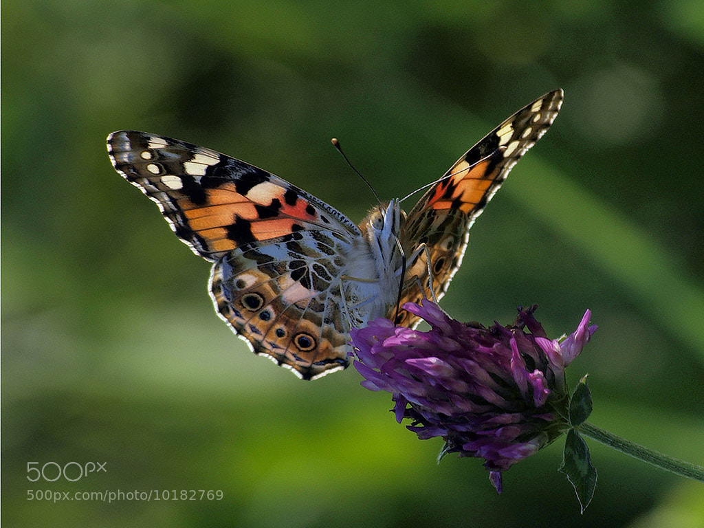 Photograph butterfly by Johnn Doe on 500px