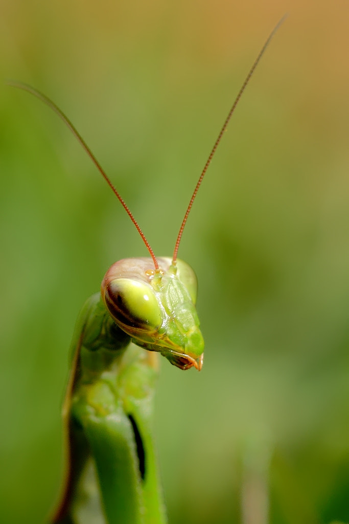 Photograph mantis portrait by wise photographie on 500px