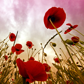 poppies by Kees Smans (keessmans) on 500px.com