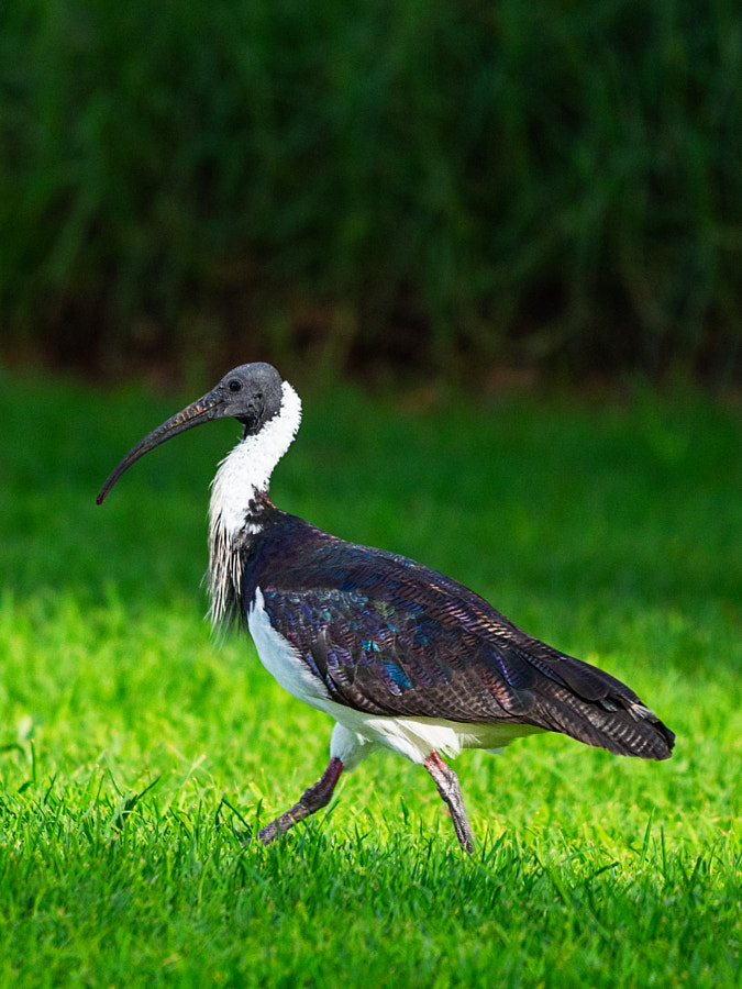 Straw-necked Ibis by Paul Amyes on 500px.com