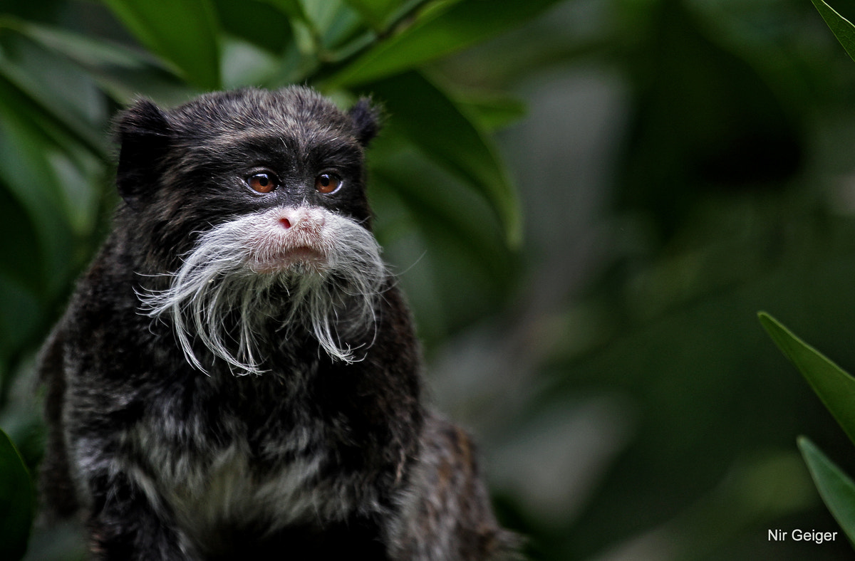 Photograph Emperor tamarin by Nir Geiger on 500px