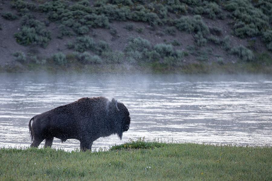 Bison Bath by Jon Albert on 500px.com