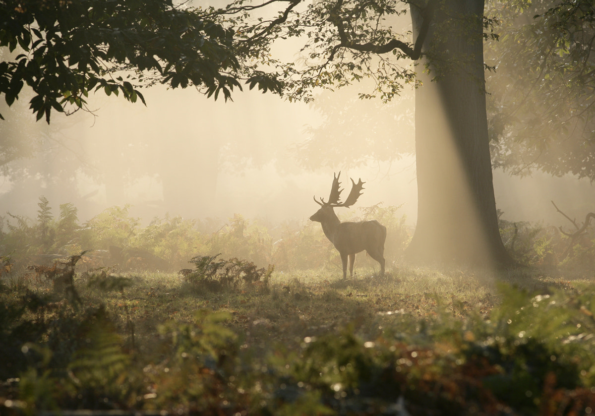 Photograph Fallow Deer by Kevin  Keatley on 500px