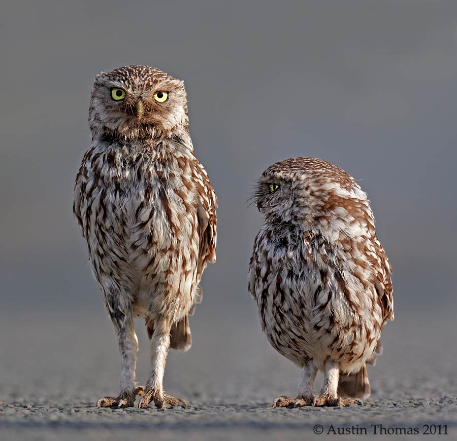 Little Owl Big Owl