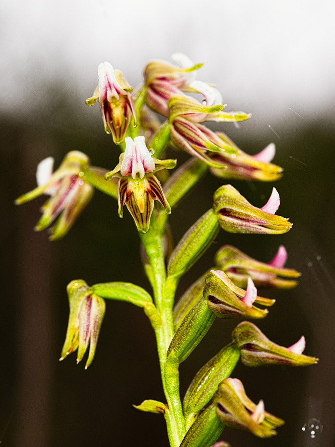 Autumn Leek Orchid by Paul Amyes on 500px.com