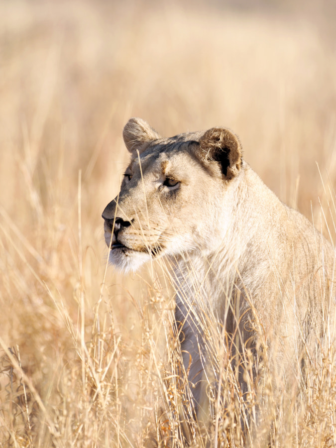 Lioness Hues by Ante Badzim on 500px.com