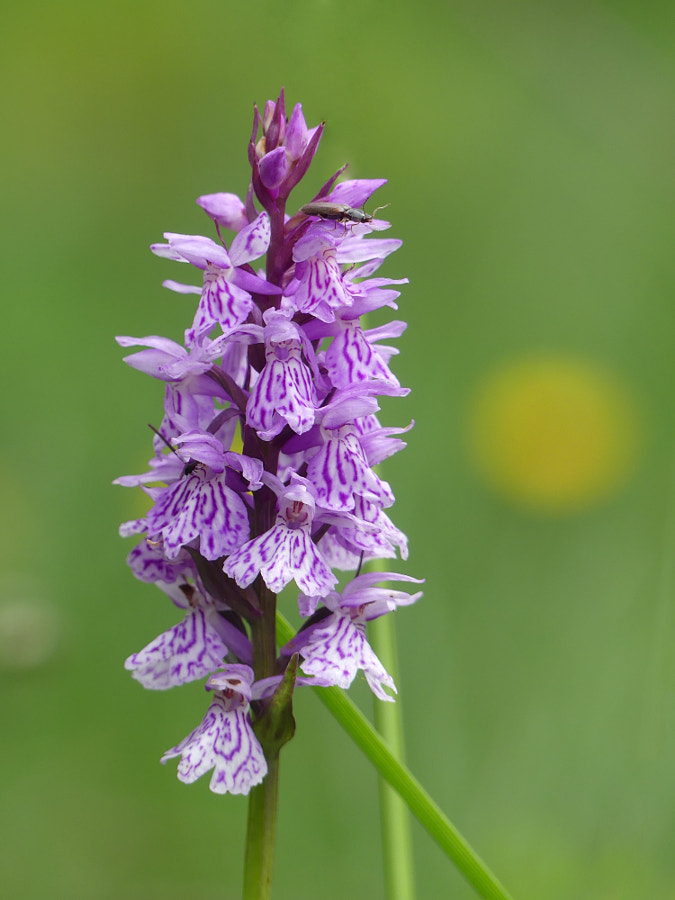 Wild orchid from the french Alps by Yves LE LAYO on 500px.com
