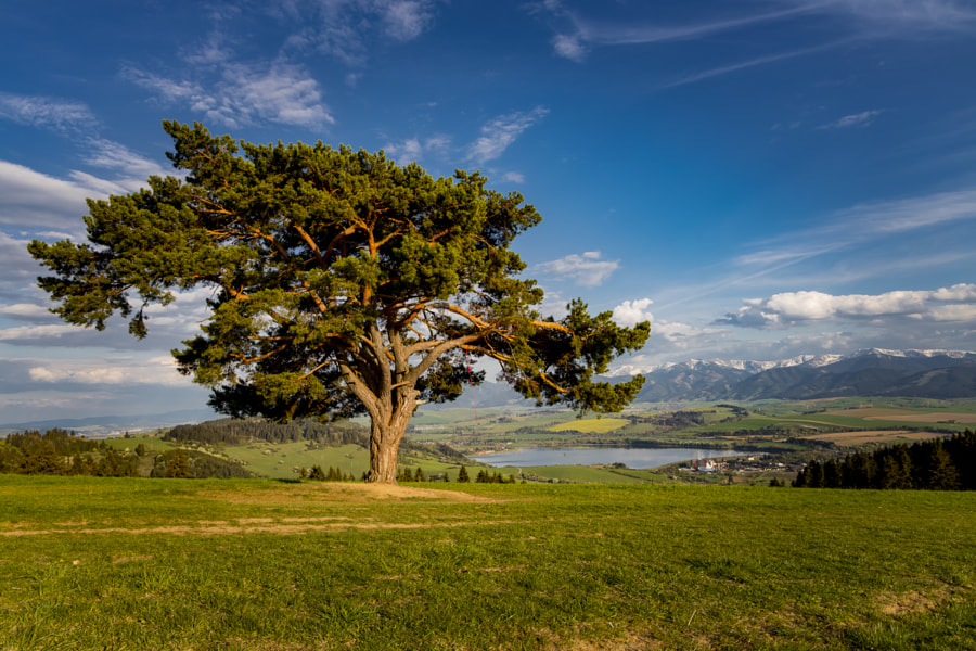 Solitaire Pine Tree by Walde Jansky on 500px.com