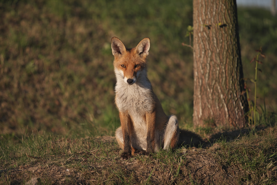 little fox by Hans E  on 500px.com