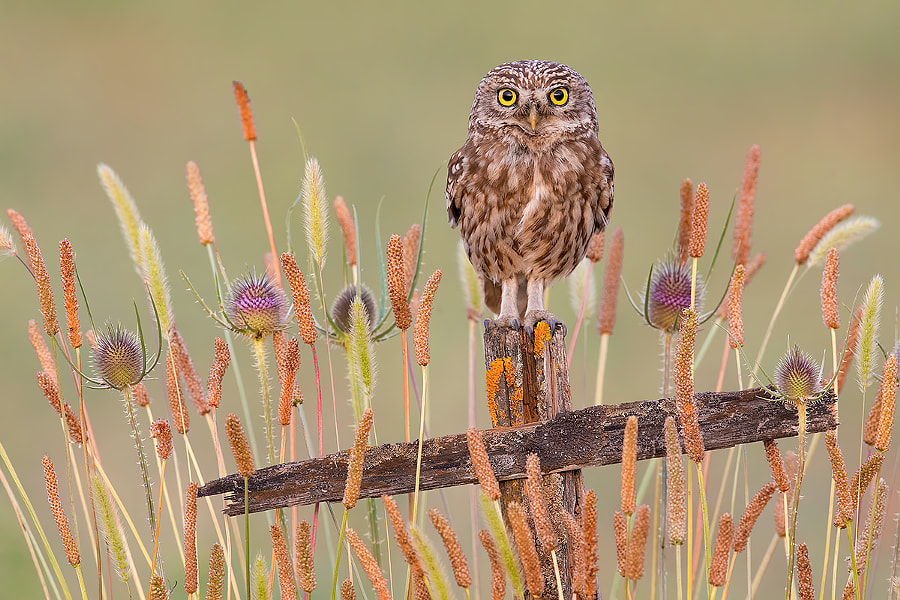 Little Owl - Civetta by Lorenzo Magnolfi on 500px.com